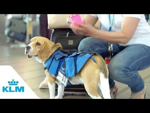 #Amsterdam's #Lost_and_Found #Airport Dog Takes the Bite Out of Flying http://ibeebz.com