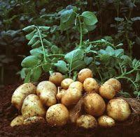 Μητέρα Γη: Η καλλιέργεια της πατάτας.