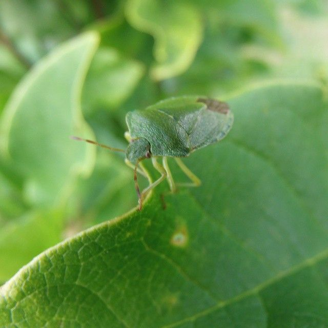 #wild#green#insect#in#my#garden#nature#Poland@instanature_789#lubiepolske