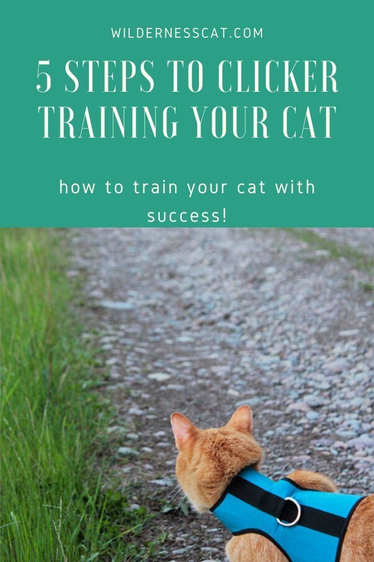 A Quick Guide To Clicker Training Your Cat Wildernesscat In 2020 Cat Training Adventure Cat Cats