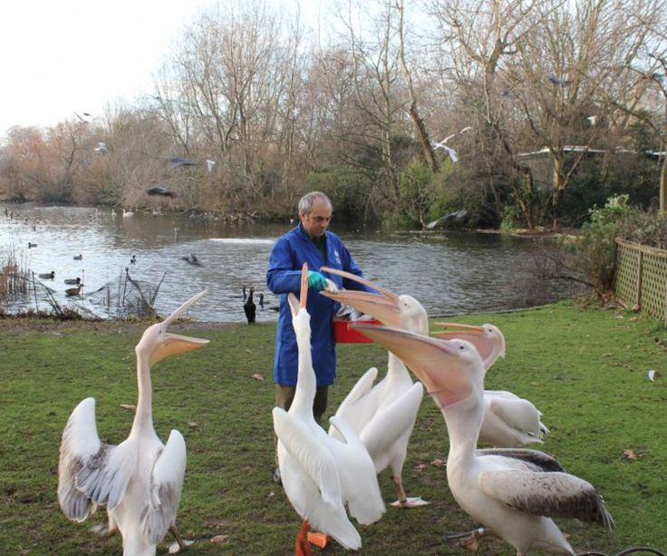 See the Pelicans at St. James's Park. Rate your trip on yourdaysout.com.