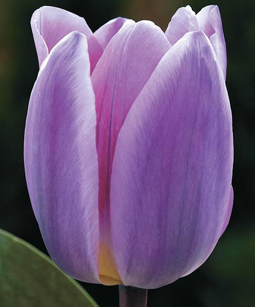 Darvinovy tulipány ´Light and Dreamy´. Jeden z nejzvláštnějších tulipánů na světě s úžasnou, až snovou barvou květů. Kombinace jemných odstínů purpurové, modré a růžové. Taková impozantní barevná kombinace se objevuje málokdy. Stanoviště: slunce- polostín. Doba kvetení: duben. Výška: asi 45 cm. K řezu.