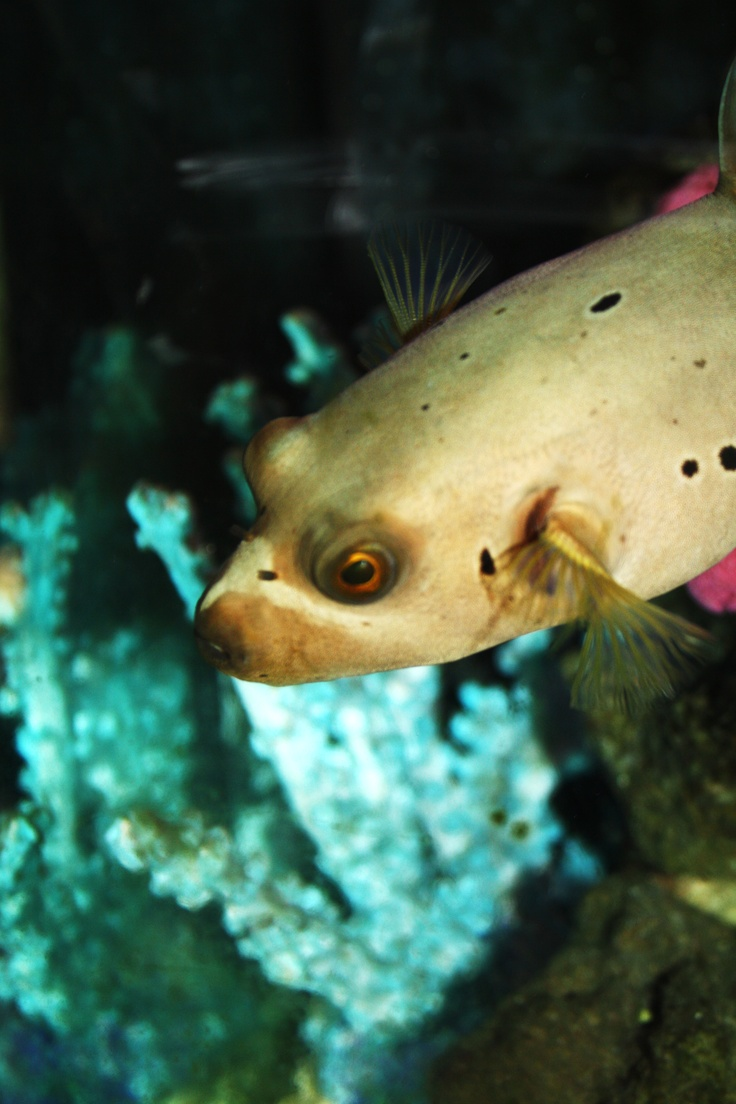 78 best puffer fish images on pinterest ocean creatures for Puffer fish puffing