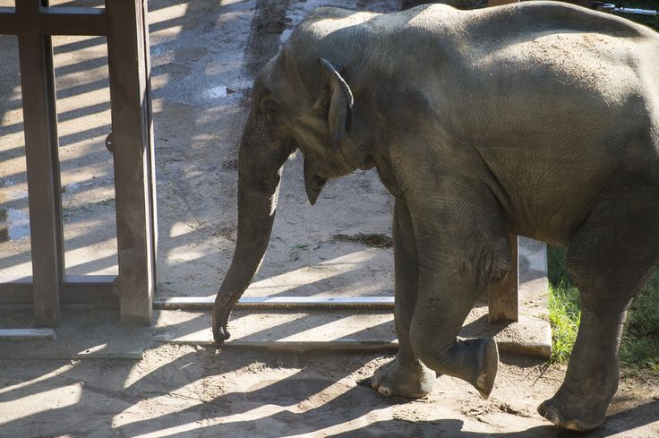 At the National Zoo, it's time for a young male elephant to find a mate