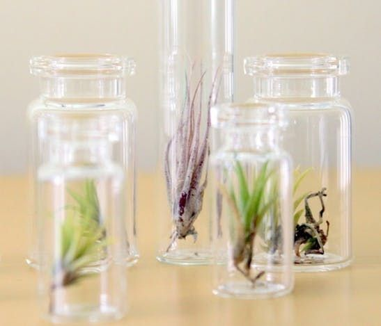 Tillandsia Air Plants Are Especially Green Orchideen - Luftpflanzen Pflege