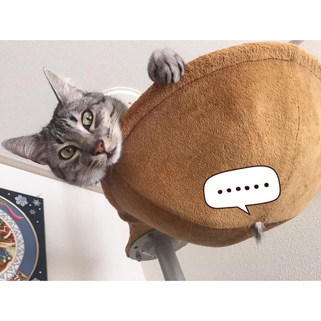 ・ お気に入りの #ボンビキャットポール ・ 最上階のハンモックが大好き ソル氏✨✨ ・ あれ 下からちょび毛が出てるけど ・ A favorite hammock at Mr. sol rips at last. ・ #ハンモックついに破れる #ハミ毛が出てますけど #俺は全然気にしてない #落ちる前に修理しろ #エジプシャンマウ  #イケニャン  #無敵の親バカ同盟  #cat  #猫  #キャットホストクラブ  #egyptianmaumew3262016/02/13 16:46:03