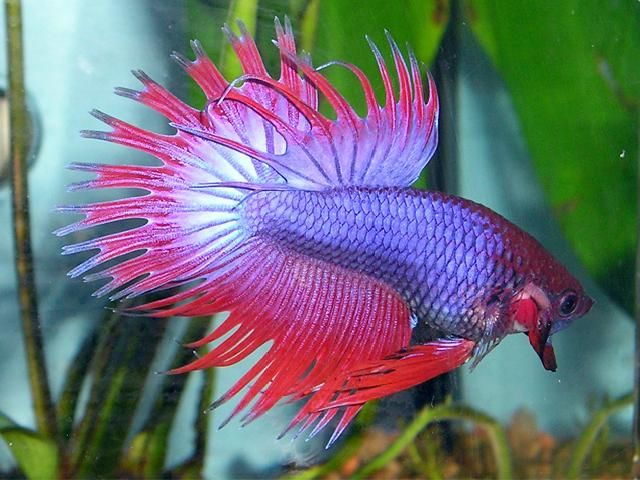 Names of exotic fish betta splendens siamese fighting for Exotic tropical fish