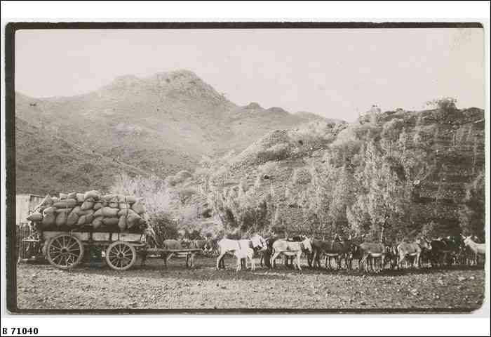 A donkey team from Yudnamutana hitched to a loaded wagon ca. 1900
