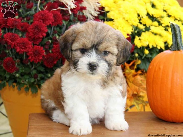 Shichon / Teddy Bear Puppy - love the coloring!