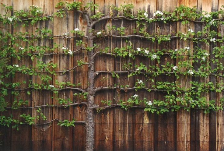 Espalier trees are unique elements that can add both formality to a garden in a natural way. Espalier is a tree or shrub whose branches are trained to grow flat against a wall, supported on a lattice or a framework of stakes.