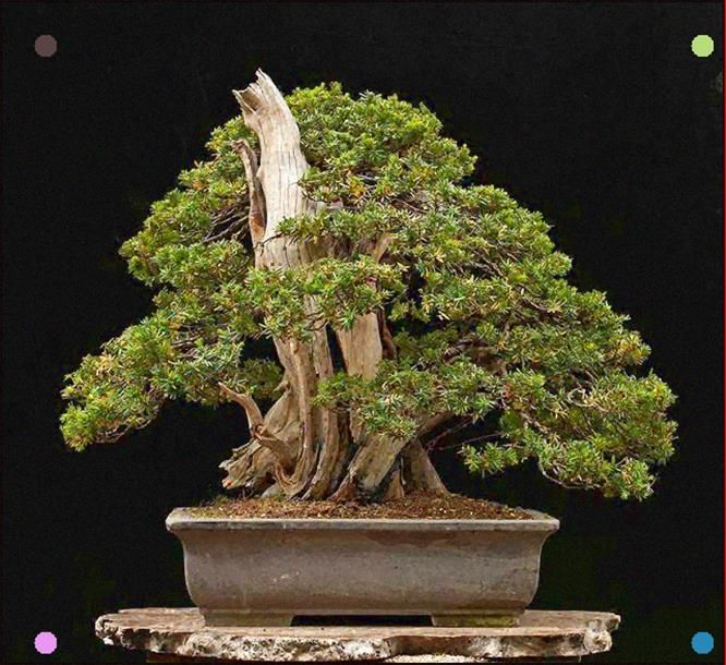 Japanese Yew 2 Part 3 Japanese Yews Bonsai Bonsai Garden