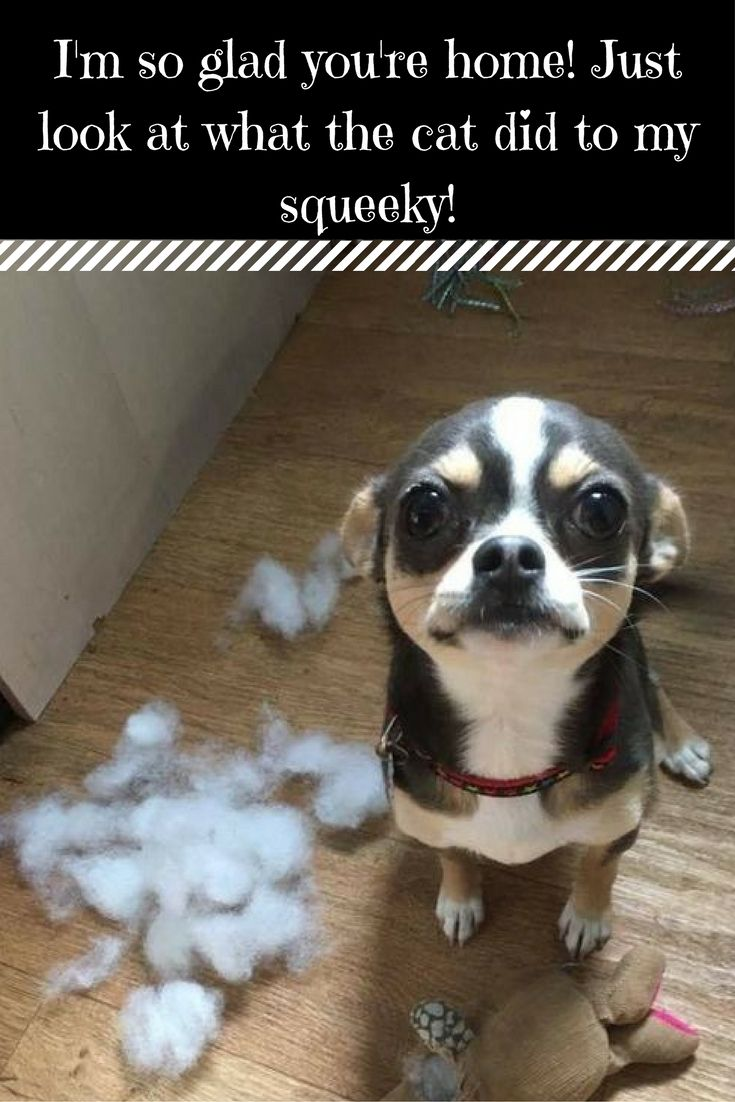 21 best Chihuahua Humor images on Pinterest