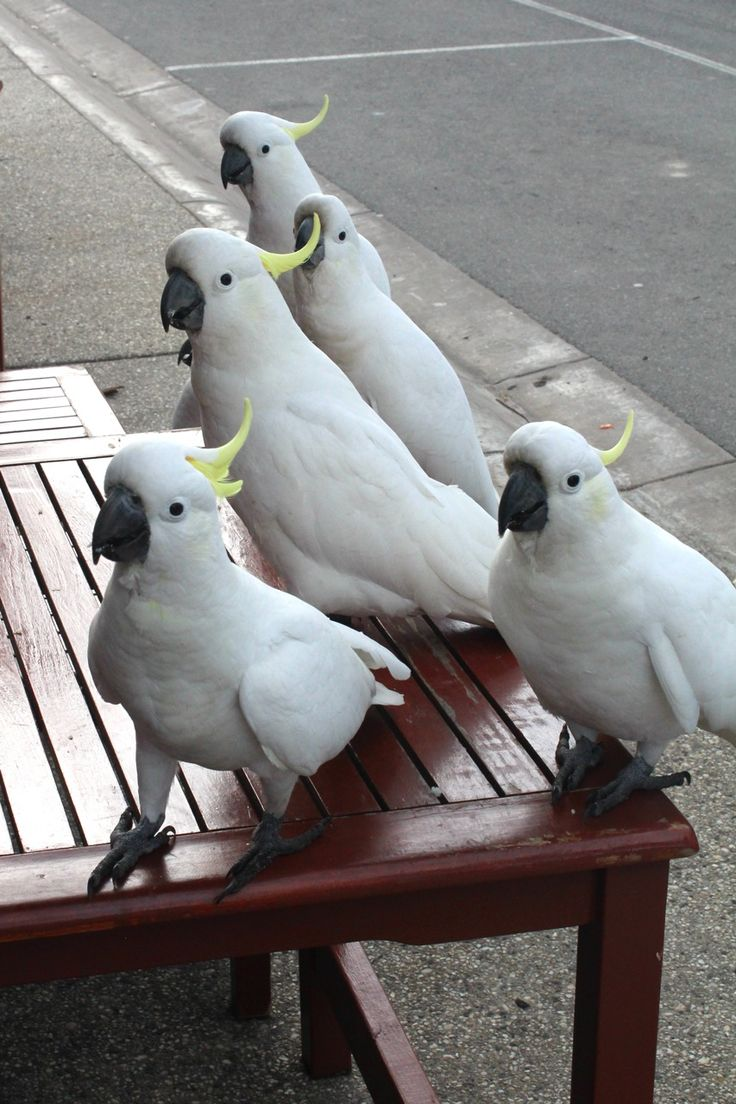 Cockatoos.  Lorne (Great Ocean Road), Victoria.  Photographer Brielle Pope.