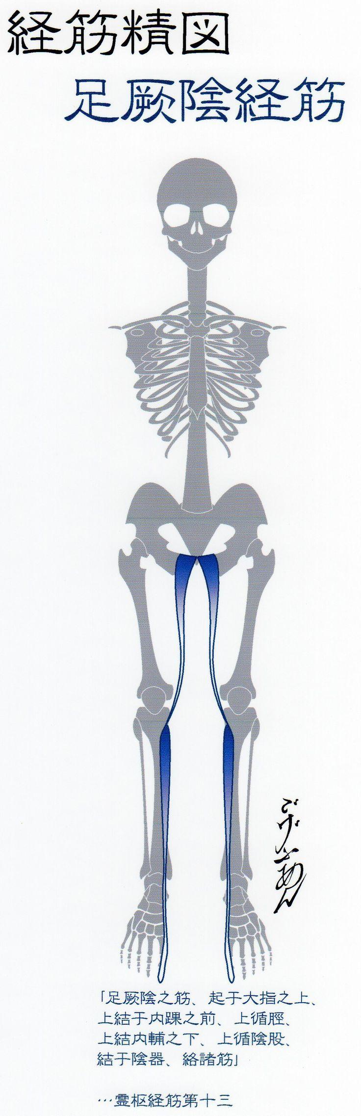 足厥陰経筋-Muscle meridian, Zu jueyin-