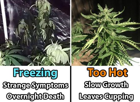 What happens to cannabis plants if it gets too hot or too cold? Source: http://growweedeasy.com/temperature-growing-cannabis