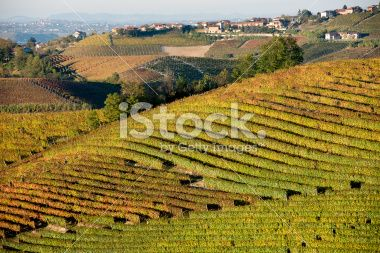 Vineyards in Fall Royalty Free Stock Photo
