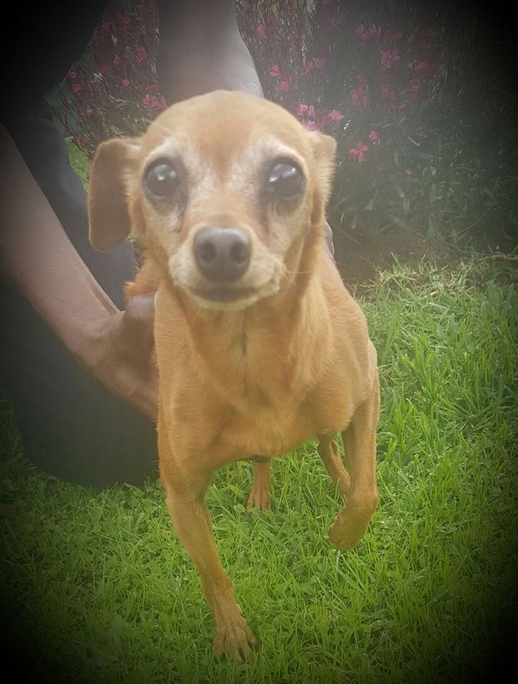 Meet Patsy - a 9 year old Min Pin femal looking for a loving home to live out the rest of her days happy and content. Please come and visit her and give her a home. — at Johannesburg SPCA.