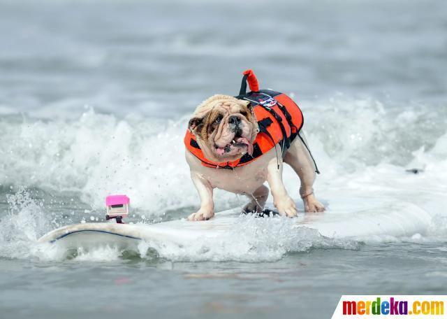 Aksi anjing Bulldog Inggris bernama Betsy, menaklukkan gelombang ombak di atas papan selancar.