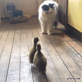 I Love Funny Animal   When ducklings attack