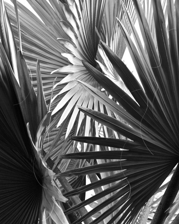 palm leaves black white palm tree nature by ImagesByJune