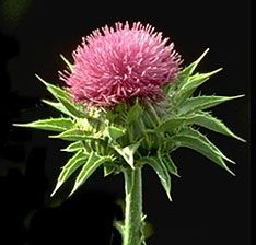 Scottish Thistle...so pretty. maybe this is why I don't have the heart to cut them down on my farm.