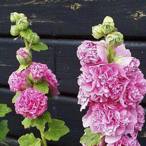 Stockros 'Pleniflora' (rosa)