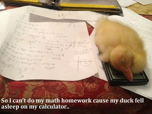 A legit excuse for not finishing the homework.So I can't do my math homework cause my duck fell asleep on my calculator..