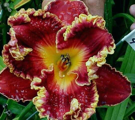 WILD IRISH - DF - L2I - Gaskins 2005 - DAYLILY - Listing # 195453 - Daylily Auction - Flower Garden Auction