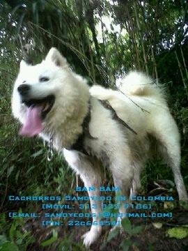 Ganadero ;)  (E-mail: samoyedos1@hotmail.com).   (PIN: 22C66454)