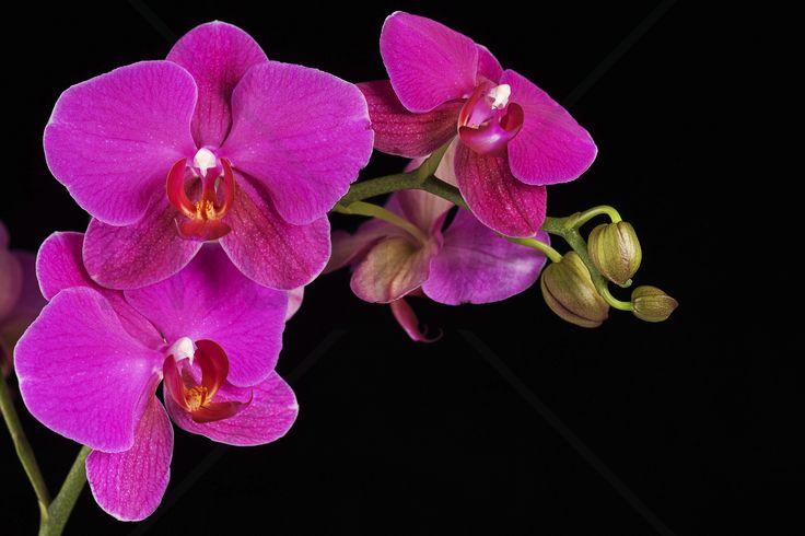 Orchidee -Black - Fototapeter & Tapeter - Photowall