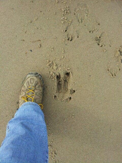 Wild Boar track on the beach...