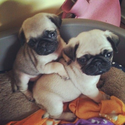 Pug puppies. We just wuv their little bitty belly's and those tails. Eeek we just wanna hug them.