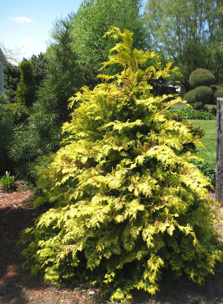 Crippsii Golden False Cypress | What's in my garden ...