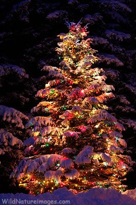 Christmas Tree in fresh snow...