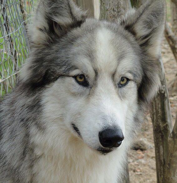 Malamute Wolf Mix Alusky (Siberia...