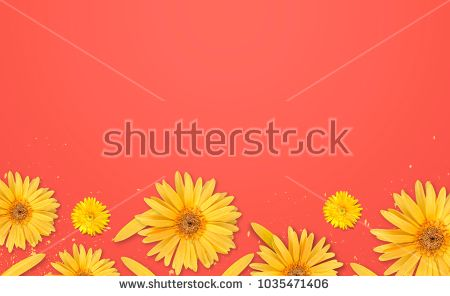yellow gerbera flower on red background