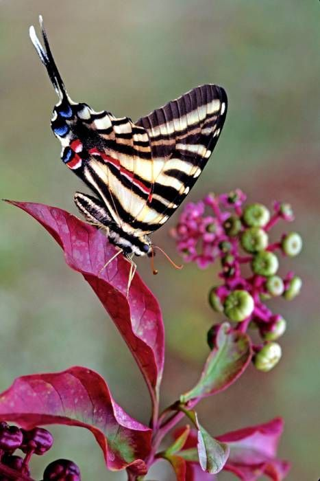 black, white and pink butterfly
