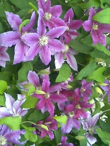How to Grow & Care for Clematis Flair The popularity of using the Clematis for refreshing walls and borders in home gardens has grown exponentially over the past decade. Clematis is a genus of around 300 species belonging to the buttercup plant family. From the Ancient Greek clématis meaning the climbing plant, this plant is read more
