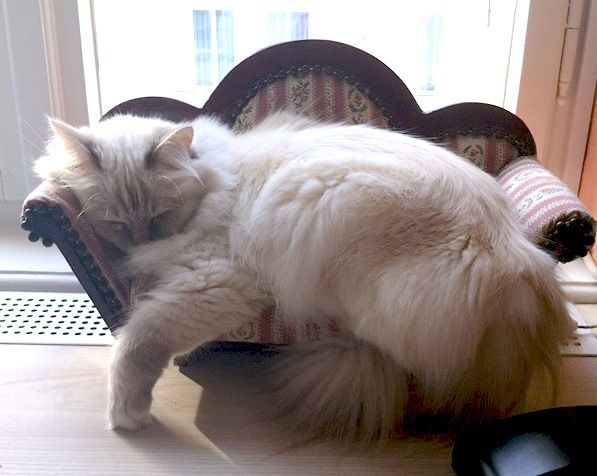 My sweet little holy birma cat Yuki, while she's sleeping a her couch :)