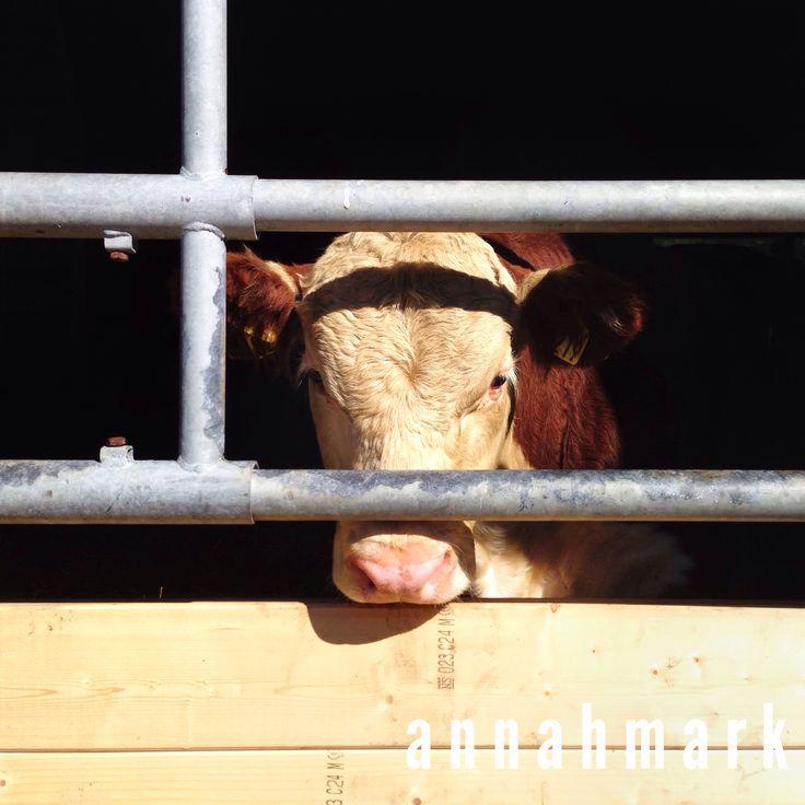 """""""At the farm"""". Photography by annahmark. #farm #babycow #cow"""