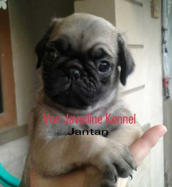 Jual Anjing Pug 1 Female, 1 Male DOB 14 Okt 2015 -Stamboem On Progress -Vaksin -Obat cacing teratur More info : Anni -PIN BB 51A22388 -Whatsapp 081572985289 NO SMS,NO PHP SERIUS BUYER ONLY  www.vonjavellinekennel.wordpress.com www.breederanjingras.blogspot.com www.facebook.com/VonJavellineKennel Gabung di BBM channel C00160FF7  2015,New Born from Von Javelline Kennel