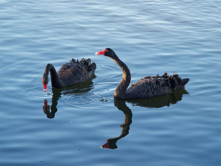 Black swans at East Clive, Hawke's Bay, New Zealand