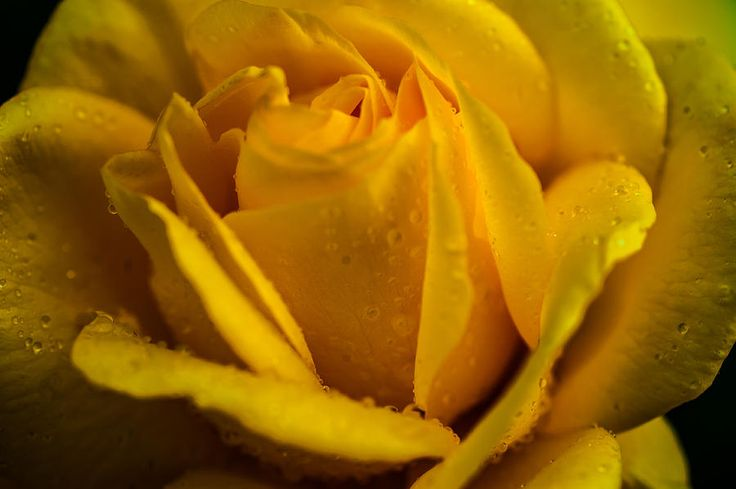 Yellow Queen Of The Garden. Yellow Rose by Jenny Rainbow