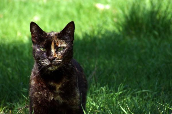 Pourquoi Les Chats Tricolores Sont Toujours Des Femelles Chat Tricolore Robe De Chat Faits De Chat