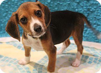 Allentown Pa Beagle Meet Zumiez A Puppy For Adoption Beagle