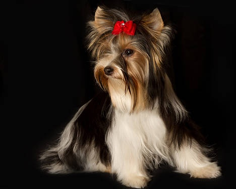party yorkshire terrier best 25 yorkshire terrier haircut ideas on pinterest 8062