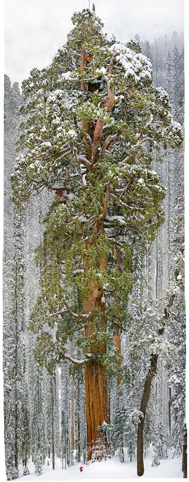 The President - the most massive tree on Earth. (Sequoia National Park, 3,200yrs old, 247ft tall) The tallest tree in the world is a California redwood standing 379ft tall. .... that tiny red dot at the bottom on the left is a person!