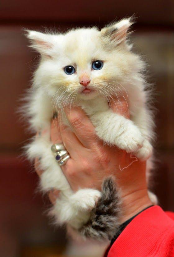 Imagenes de gatos - gatitos: Imagen de hermoso gatito blanco ojos azules  [19-1...