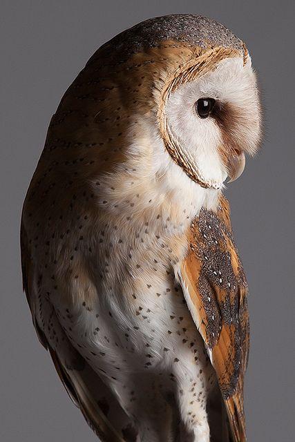 barn owl by Paul Kitchener - Chouette effraie qui a été et est encore maltraitée.