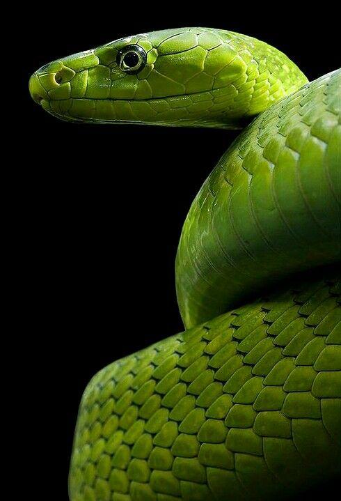 информация о змее черная мамба